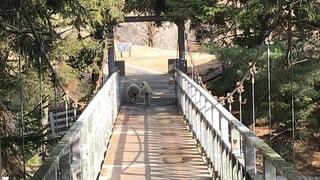 橋,木,屋外,羊,仲良し,樹木,景観,草木,複合材料