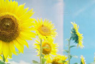 黄色の花の写真・画像素材[716936]