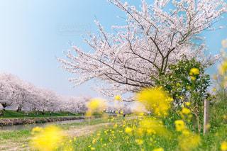 桜の写真・画像素材[1094257]