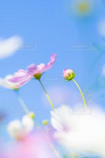 秋桜の写真・画像素材[1473451]