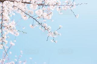 桜と青い空の写真・画像素材[1996093]