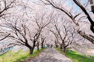 桜のトンネルの写真・画像素材[3073739]