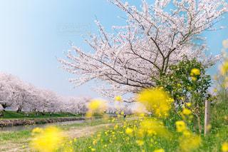 菜の花とさくらの写真・画像素材[3073740]