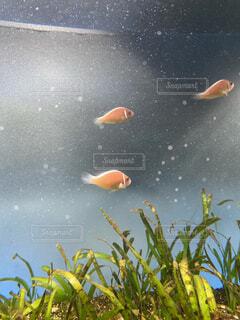3匹の熱帯魚の写真・画像素材[4025008]