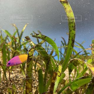 海,魚,熱帯魚,砂浜,黄色,水族館,水色,水中,砂利,水槽,ピンク色,小魚,海藻,草木,緑色