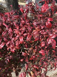 屋外,赤,葉,たくさん,草木