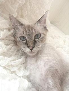 猫,動物,ペット,子猫,モフモフ,新年,柔らか,ラパーマ,2021,雪色