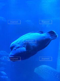 海,青,水族館,ナポレオンフィッシュ,海の生物