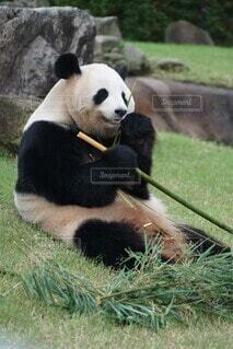 むしゃむしゃ食べるパンダの写真・画像素材[4017673]