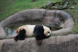 動物,屋外,パンダ,動物園