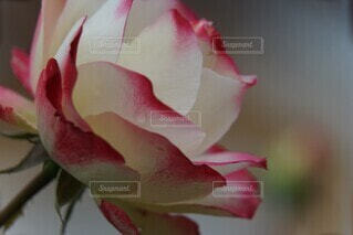 花,バラ,景色,花びら