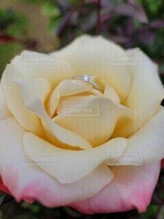花,バラ,指輪