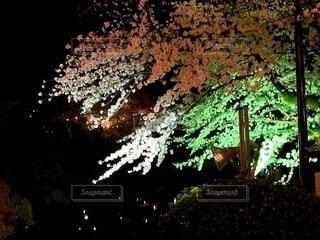 自然,風景,花,春,桜,夜,屋外,サクラ,ライトアップ,草木