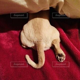 犬,冬,動物,屋内,寝る,人,毛布,睡眠,尻尾,こたつ,コタツ