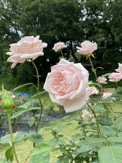 自然,風景,花,バラ,草木,野津田ばら園、ピンク、