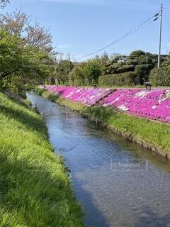 自然,風景,花,水面,景色,芝桜、川沿い、絨毯、青空、ピンク