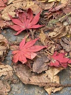 自然,秋,屋外,赤,葉,樹木,カエデの葉,シルバーメープル,大雄山、最乗寺、紅葉