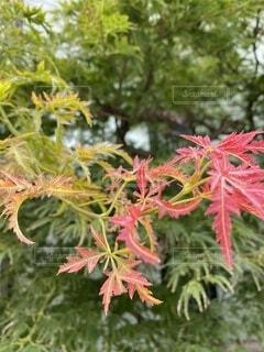 秋,屋外,赤,葉,樹木,カエデ