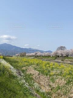 自然,風景,空,桜,屋外,ピンク,雲,川,山,景色,樹木,散歩道,大山,草木,菜の花、黄色