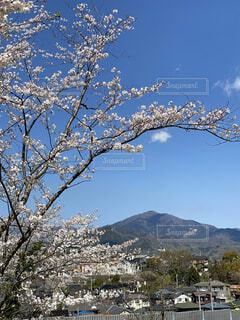 自然,風景,空,花,桜,屋外,ピンク,雲,山,景色,樹木,大山,草木,五領ケ台公園