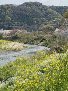自然,風景,空,桜,屋外,ピンク,川,山,景色,樹木,散歩道,草木,菜の花、黄色,散歩道、サイクリング、サイクリングロード、