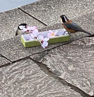 動物,鳥,地面,小鳥、啄む、可愛い、桜、公園