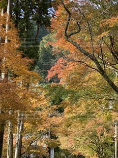 自然,秋,紅葉,森林,屋外,黄色,樹木,トンネル,落葉,草木,カエデ,奥湯河原,赤い、鮮やか、景観