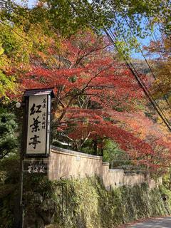 自然,秋,紅葉,森林,屋外,黄色,樹木,落葉,草木,カエデ,撮影ポイント,奥湯河原,蕎麦処,赤い、鮮やか、景観