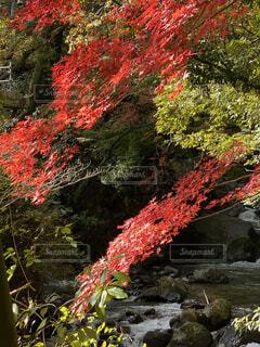 自然,秋,紅葉,森林,屋外,川,樹木,湯河原,遊歩道,落葉,草木,カエデ,万葉公園,赤い、鮮やか、景観