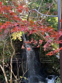 自然,秋,紅葉,森林,屋外,川,滝,樹木,湯河原,遊歩道,落葉,草木,カエデ,万葉公園,赤い、鮮やか、景観
