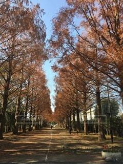 自然,秋,紅葉,森林,屋外,樹木,並木,シンボル,草木,メタセコイア,平塚総合公園