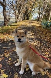 犬,秋,動物,屋外,樹木,地面,子犬,ペット、柴犬、こなつ,落ち葉、並木、散歩、散歩道