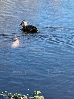 鯉と鴨の共演の写真・画像素材[4167580]