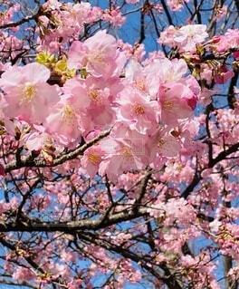 花,春,ピンク,満開,樹木,お気に入り,河津桜,草木,平塚,さくら,ブルーム,ブロッサム,早咲き桜,総合公園