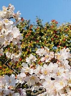 花,ピンク,青空,平塚,ブロッサム,早咲き桜,玉縄桜,総合公園