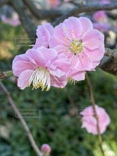 花,屋外,ピンク,庭園,お気に入り,草木,平塚,枝垂れ梅,ブルーム,フローラ,総合公園