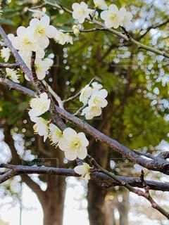 空,花,春,屋外,青空,景色,樹木,梅園,お気に入り,可憐,草木,日中,平塚,ガーデン,白梅,総合公園