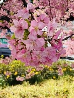 風景,空,花,春,屋外,湖,ピンク,川,水面,草,樹木,河津桜,草木,三浦海岸,ブルーム,ブロッサム,早咲き桜