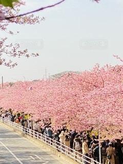 風景,空,公園,花,春,群衆,屋外,ピンク,人物,河津桜,三浦海岸,ブロッサム,早咲き桜