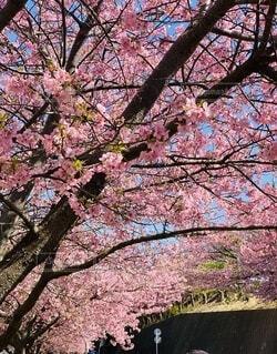 風景,花,春,屋外,ピンク,草,樹木,河津桜,草木,三浦海岸,ブロッサム,早咲き桜