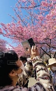 女性,風景,空,花,春,屋外,ピンク,スマホ,樹木,人物,河津桜,草木,三浦海岸,ブロッサム,早咲き桜