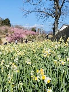 自然,風景,空,花,春,屋外,ピンク,青空,景色,草,樹木,水仙,河津桜,大井町,里山,草木,早咲き桜,おおい夢の里