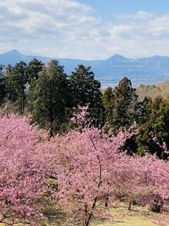 自然,風景,空,花,春,屋外,ピンク,緑,青空,山,樹木,河津桜,大井町,里山,草木,早咲き桜,おおい夢の里