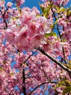 自然,風景,花,春,屋外,ピンク,樹木,カラー,河津桜,大井町,里山,草木,さくら,ブルーム,ブロッサム,早咲き桜,おおい夢の里