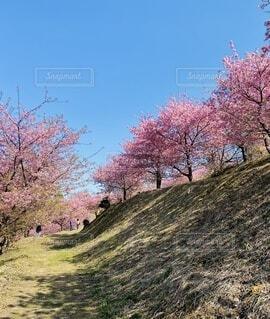 自然,風景,空,花,春,屋外,ピンク,青空,樹木,河津桜,大井町,里山,草木,さくら,ブロッサム,早咲き桜,おおい夢の里