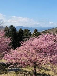 自然,風景,空,花,春,屋外,ピンク,緑,青空,紫,樹木,河津桜,大井町,里山,草木,ブロッサム,早咲き桜,おおい夢の里