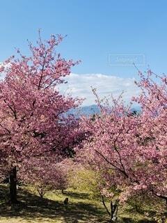 自然,風景,空,花,春,屋外,ピンク,緑,青空,景色,樹木,河津桜,大井町,里山,草木,ブロッサム,早咲き桜,おおい夢の里