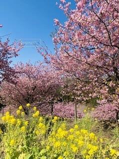 自然,風景,花,春,屋外,ピンク,青空,黄色,菜の花,樹木,河津桜,大井町,里山,草木,早咲き桜,おおい夢の里
