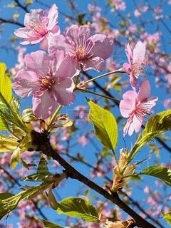 自然,風景,花,春,屋外,ピンク,青空,黄色,樹木,河津桜,大井町,里山,草木,ブルーム,ブロッサム,早咲き桜,おおい夢の里