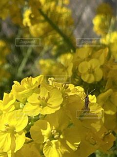花,春,屋外,黄色,菜の花,草木,フローラ